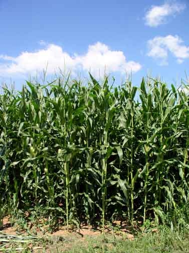 Bumper Corn and Soybean Crops Expected In Kansas