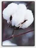 Edible CottonSeed Could Feed Millions
