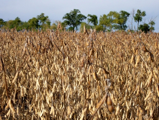 Soybean Planting Expected To Be Up 6%