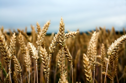 Winter Wheat Harvest Anticipated To Be Down Slightly