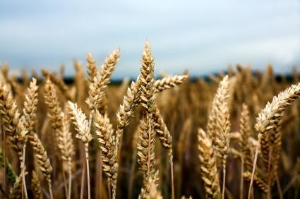 Wheat Harvest Kicks in Gear