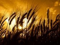 Kansas Wheat Crop In Good Condition