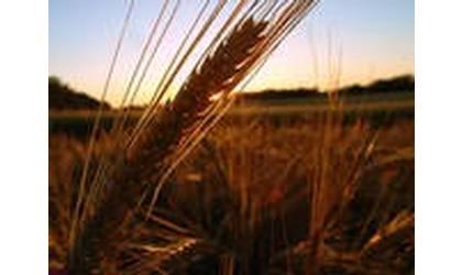 Kansas Wheat Looking Good