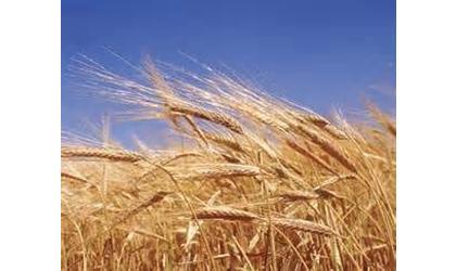 Kansas Wheat Crop Looking Good