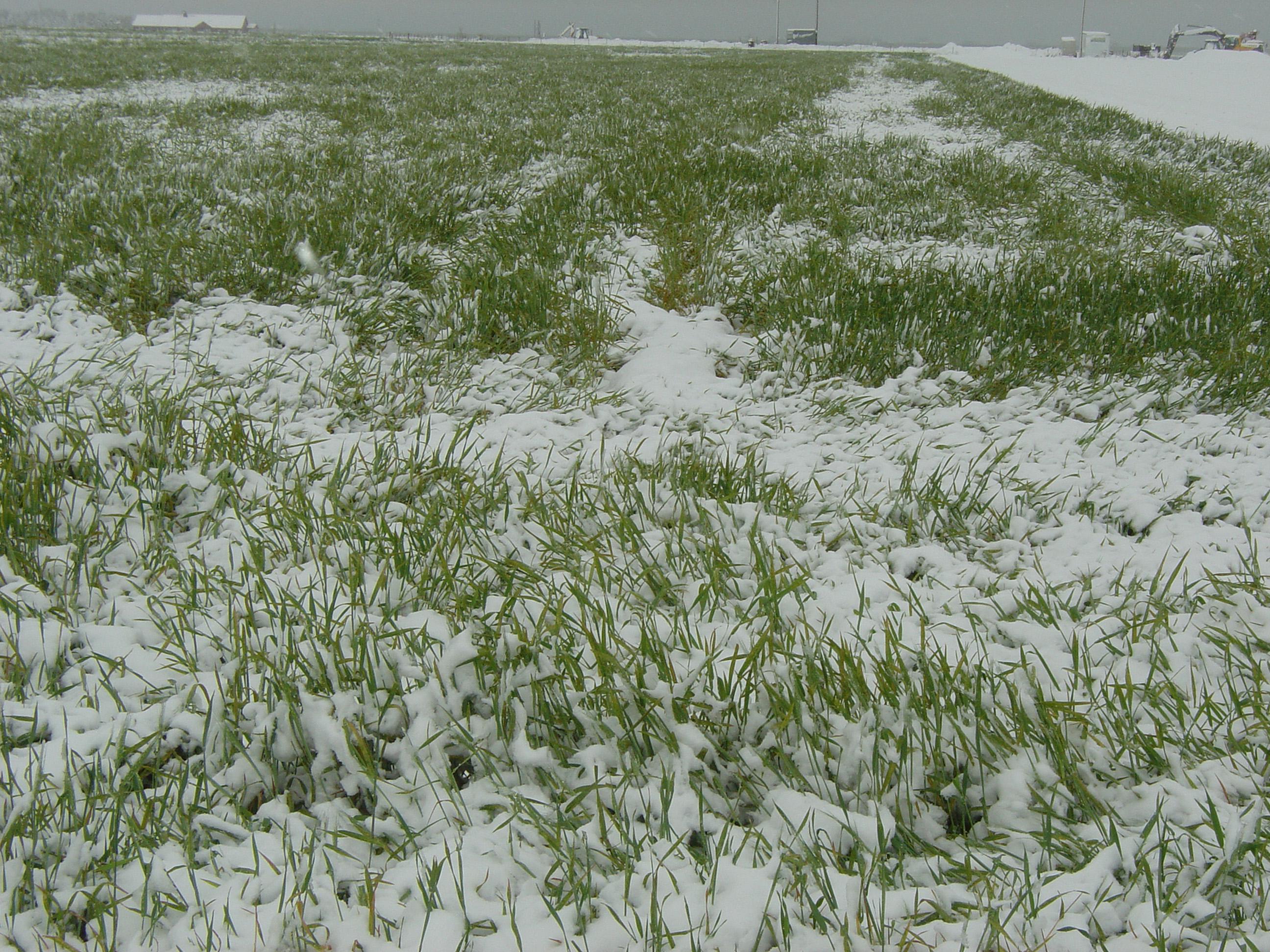 Recent Moisture Aids Winter Wheat Crop