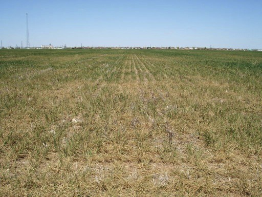 Nearly Half of Wheat Crop in Poor to Very Poor Condition