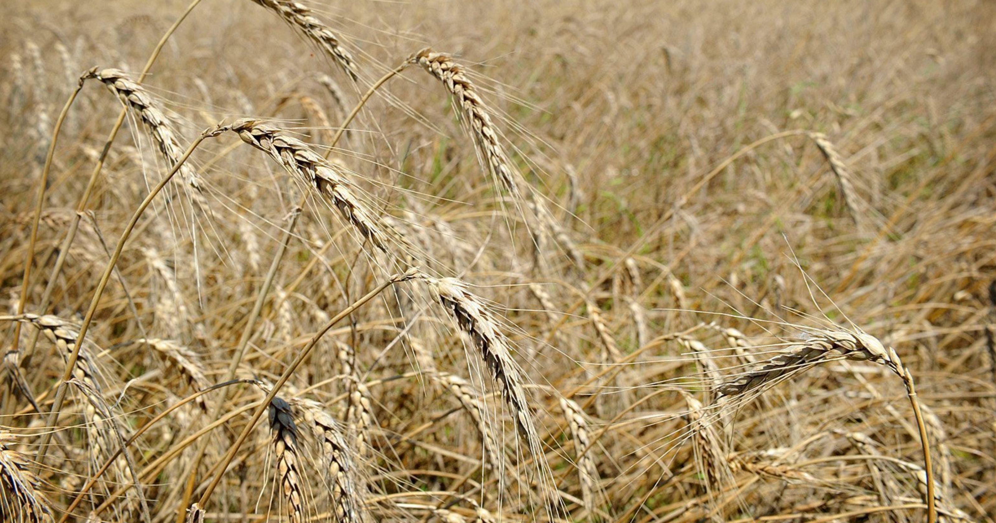 Kansas Crops Not Fairing Well