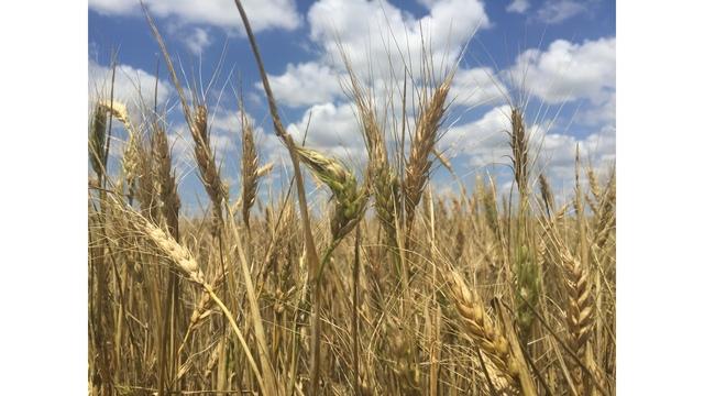Kansas' annual wheat quality report