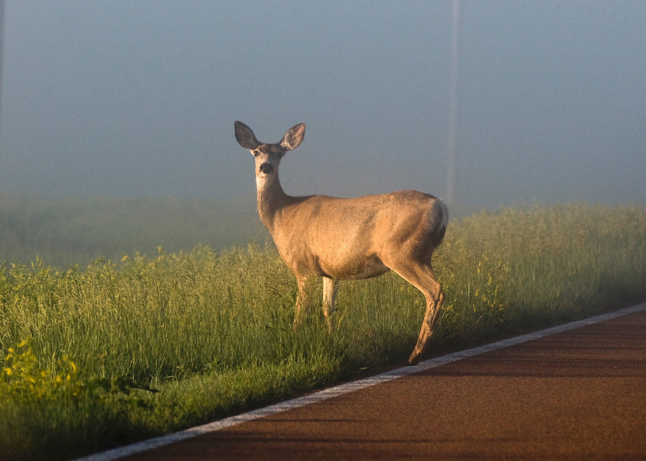 KDOT Warns of the Increase in Vehicle-Deer Crashes