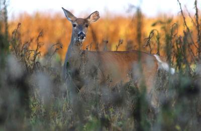 Deer/Car Crash in Seward County