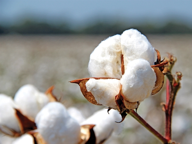 Cotton Workshop This Friday in Hugoton