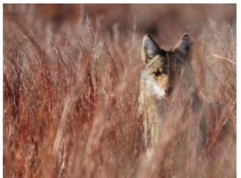 Coyote Season to Begin January 1st